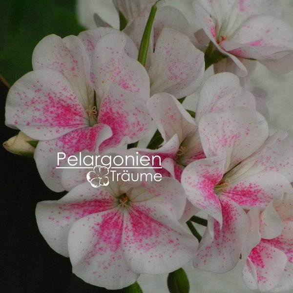 'Mrs J.J. Knight' Pelargonium zonale