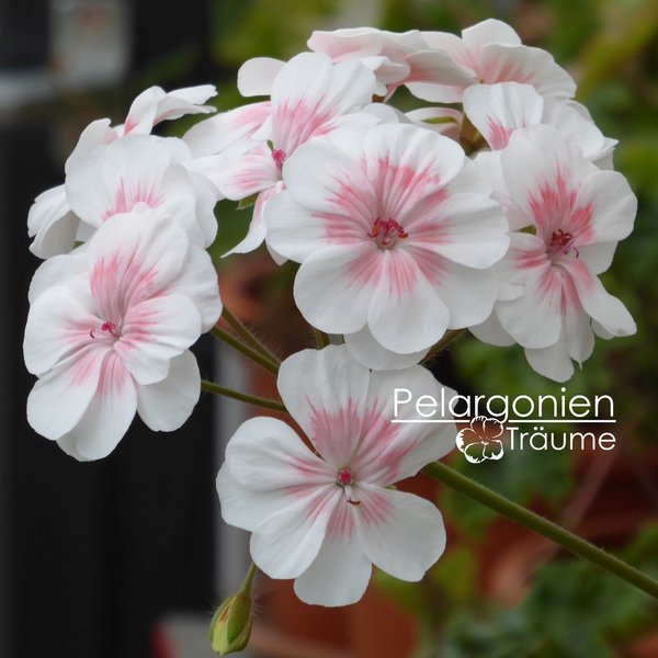 Pelargonium zonartic Lovely Wera