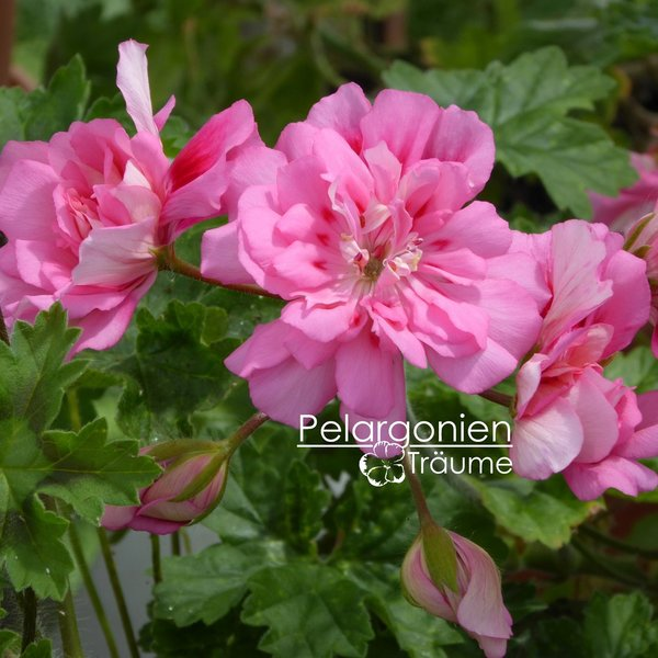 Pelargonium zonartic Unicorn Rose