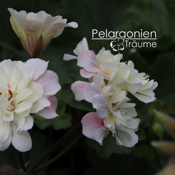 Pelargonium zonartic Unicorn Sunbeam