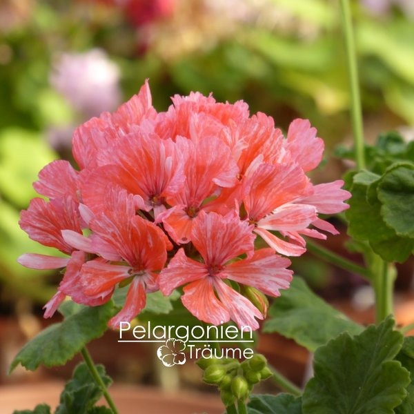 'Strawberry' Pelargonium zonale