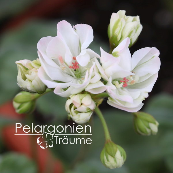 Pelargonannas Halo
