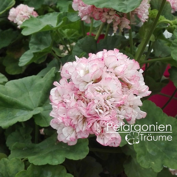 'Elnaryds Lady Molly' Pelargonium zonale